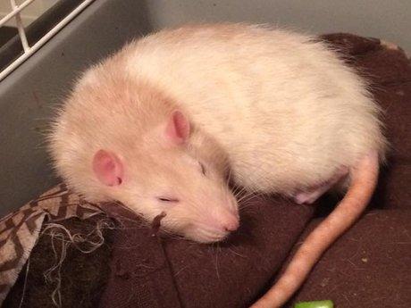 15 Minute Rat Cuddling Session