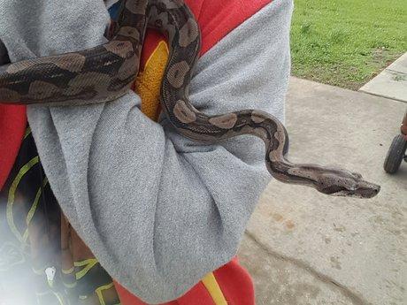 Identify snake species & morphs