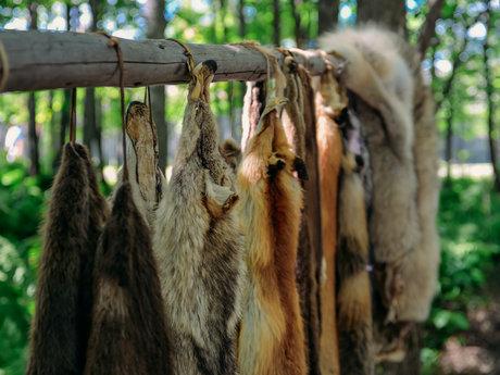 Animal skinning/tanning