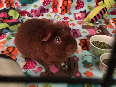 Advice on pet guinea pigs