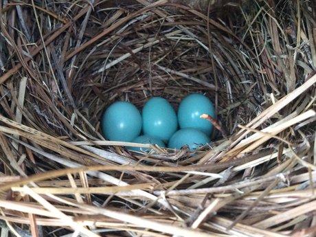 Bluebird Eggs magnet postcard