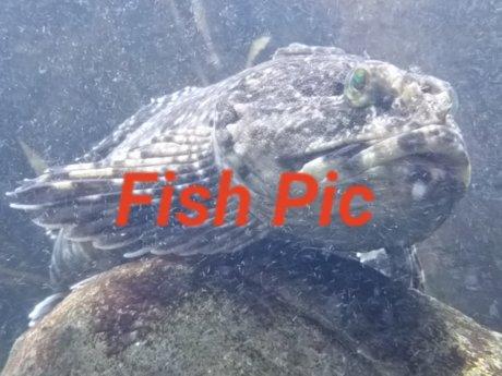 Royalty free scorpion fish jpg