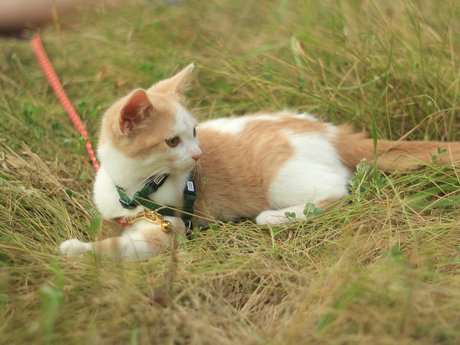 Leash train your kitten