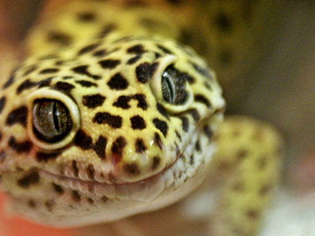 Leopard Gecko Care Tips