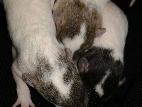 Pet Fancy Rat Advice