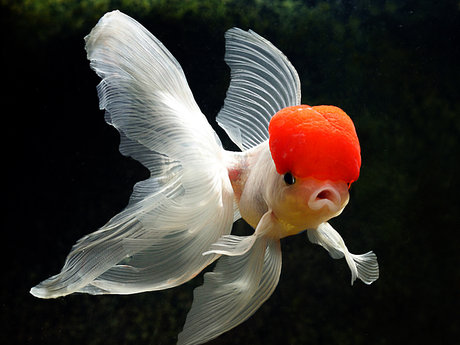 Tips on Raising Fancy GoldFish! 🐟