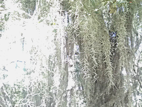 One Gallon of Spanish Moss ~LIVE!~