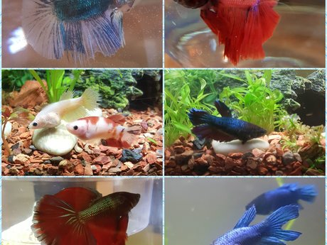 All about Betta fish!
