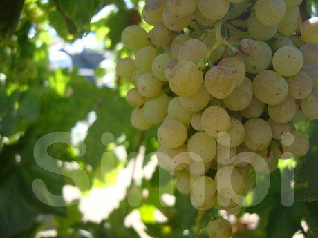Green Grapes (digital copy)