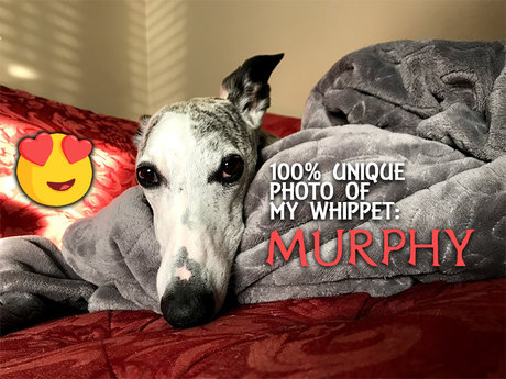 Your Photo of My Adorable Whippet