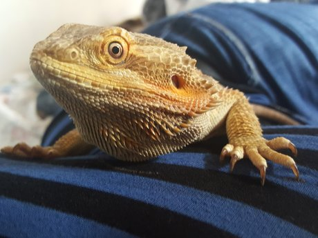 Photo of My Bearded Dragon