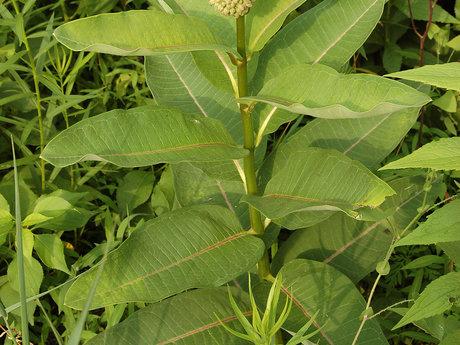 12 + Milkweed seeds