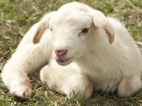 Lamb magnet postcard