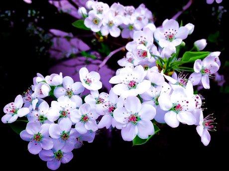 """Cherry Blossom Nirvana"""