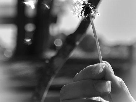 Dandelion Whisper 1906 x 2193