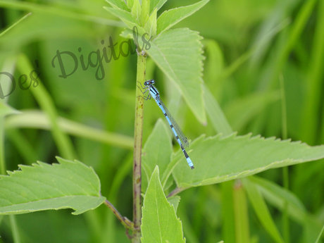 Blue like the sky damselfly