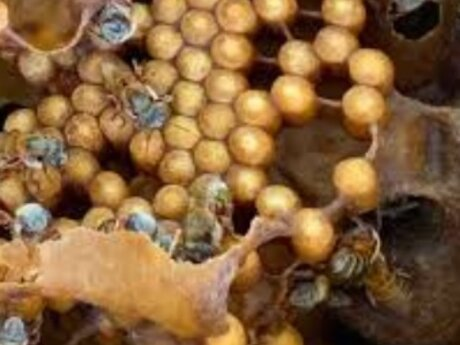 Melipona bees culture