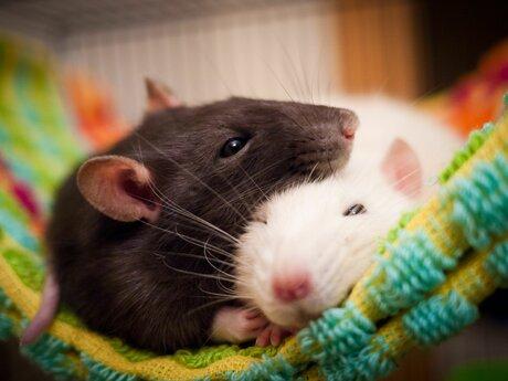 Advice on Pet Rat Care