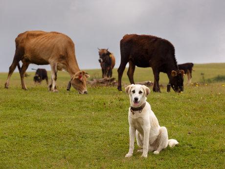 Stockdog training