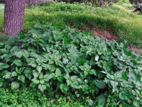 Wild edible plant walk