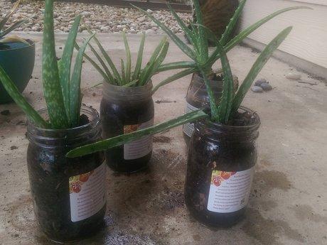 Baby Aloe + Bokashi Composting Info