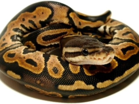 Beginner Ball Python Advice