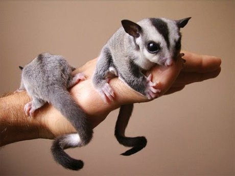Sugar glider pet sitting