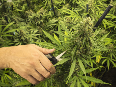 Cannabis Trimming/Harvesting