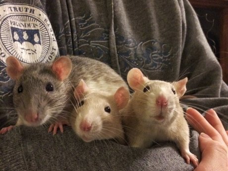 Meet & Greet Pet Rats