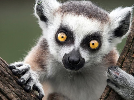 Lets talk about lemurs!