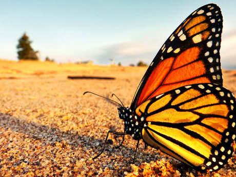 Lets talk about Monarch Butterflies