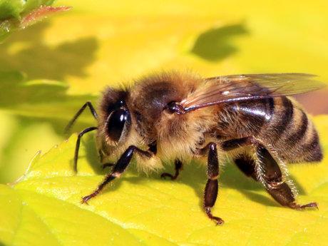 Honey beekeeping