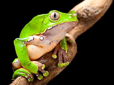 Kambo Frog Venom Therapy