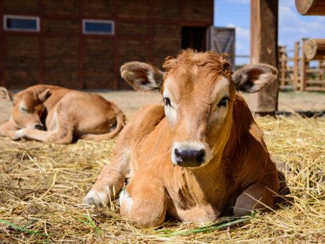 Dairy Cattle advisor