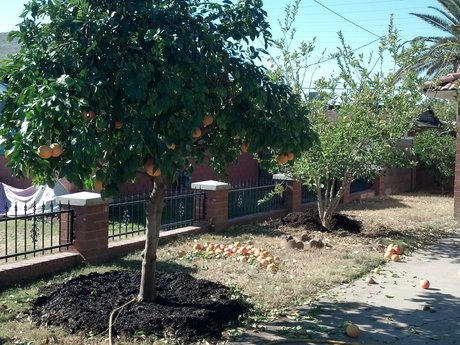 Citrus Tree Pruning and Fertilize