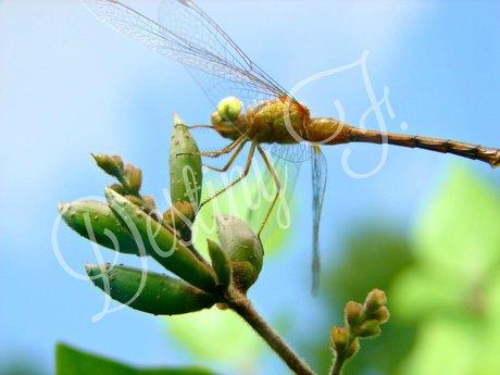 Dragonfly Bud  (Digital)