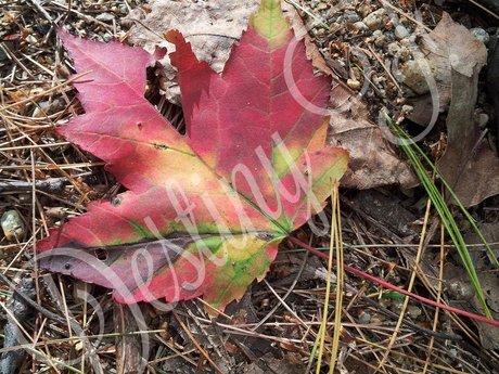Fall Colors (digital)