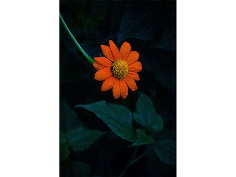 Orange Daisy 4x6 Print
