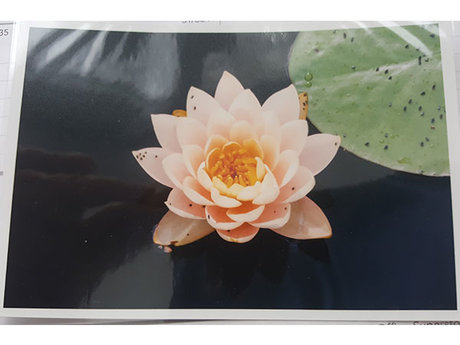 Water Lilly 4x6 Print