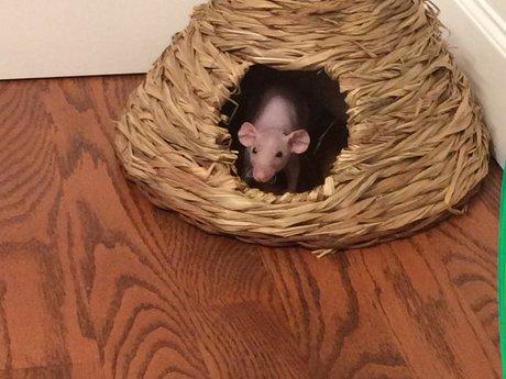 Pet baby rat trade