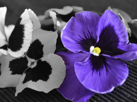 Select color Purple Pansy