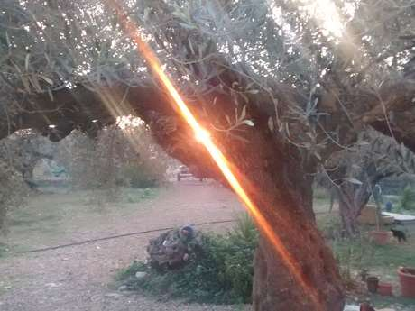 Help on Olive finca