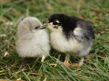 Advise on how to raise chickens