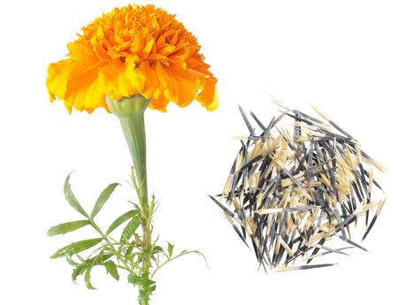 Marigold Seeds sent to You!