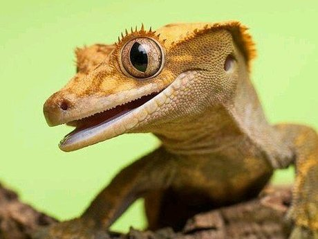 Owning A Crested Gecko