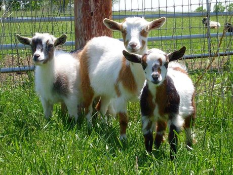 Intro to Goats